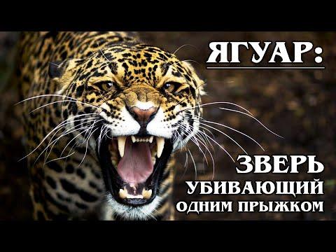 ЯГУАР: Американский ЦАРЬ в Мире Животных | Интересные факты о ягуаре