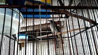 Masteran Burung Cucak Rawis Gacor,tetap Eksis Di Video