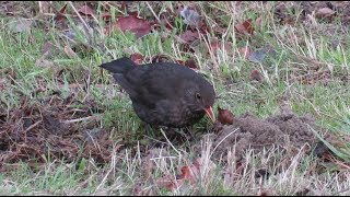 The blackbird and the Mole / De Merel en de Mol / Lier - Belgium / Dec. 2016
