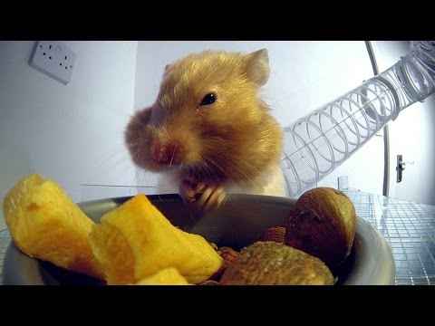 X-Ray Video Reveals How A Hamster Can Stuff So Much Food In Its Cheeks