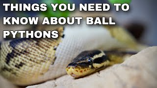 Watch This BEFORE Getting A Ball Python!