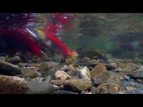 The exciting journey of sockeye salmon