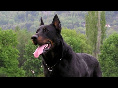 Best Guard Dogs Breeds For Family & Personal Protection