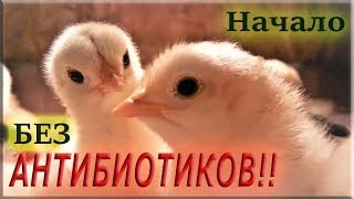 Выращивание цыплят БЕЗ АНТИБИОТИКОВ! Первые 10 дней