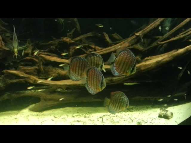 Discus Fish and Freshwater Angelfish in an Extra large fish tank + a large school of Firehead Tetras