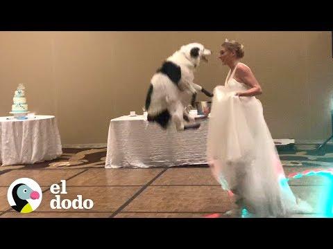 Divertido Perro Bailando En La Boda De Su Dueña