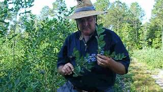 About Harrietts Bluff Organic Blueberry Farm