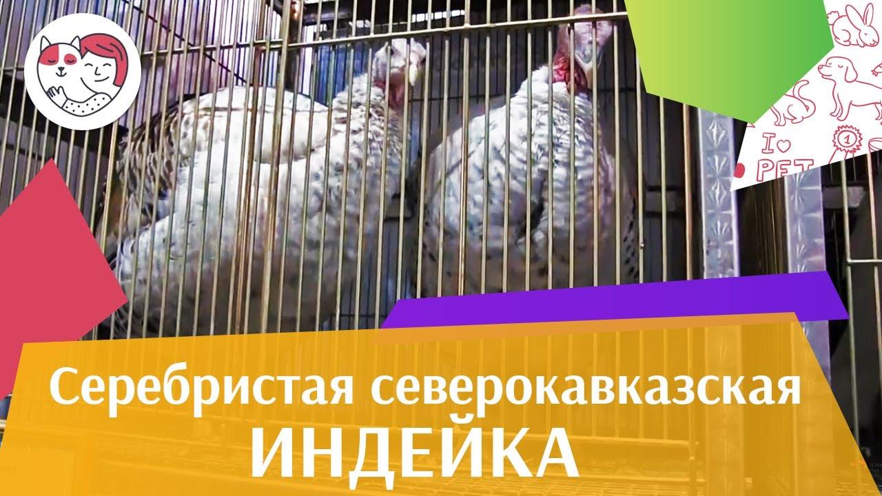 ИНДЕЙКИ СЕРЕБРИСТАЯ СЕВЕРОКАВКАЗСКАЯ Агропромышленная выставка Золотая осень 2016 iLikePet