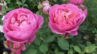 Boscobel Rose Review | David Austin Roses | English Roses