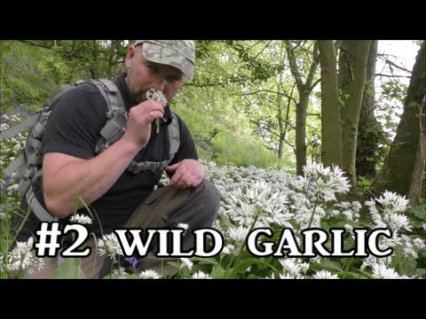 Wild Garlic - Plant Identification, Uses and Folklore