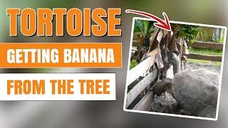 Aldabra Tortoise Eating Bananas (Geochelone gigantea)