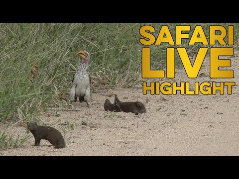 Funny Dwarf Mongoose Plays Dead When Confronted