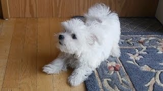 Cute Little Maltese Puppy Dog Barking And Chewing On Rug Funny Videos Things Puppies Bark Animals