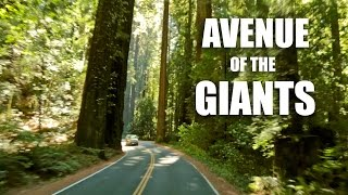 A Drive Through Avenue of the Giants (Redwoods, California)