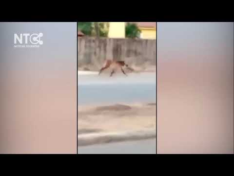 Lobo-guará é visto em área urbana de Palmas
