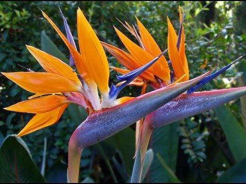 СТРЕЛИЦИЯ – райская птица в цветочном горшке. Уход за СТРЕЛИТЦИЕЙ в домашних условиях