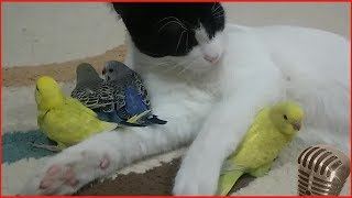 волнистые попугаи видео слушать пение волнистых попугаев