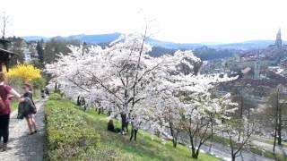 スイス発 2017ベルンばら公園ソメイヨシノ桜3月31日【スイス情報.com】