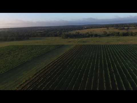 Aerial: Pedernales Cellars Vineyard, harvest ready video poster.