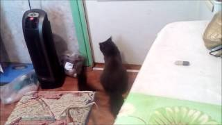 Смотреть онлайн Кошка учит своё дитя открывать дверь