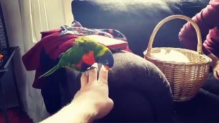 Rainbow Lorikeet Dances Around