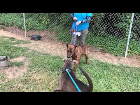 ZACHARY (R), an adopted Plott Hound & Hound Mix in Marietta, GA