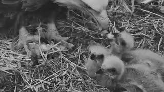 Decorah Iowa~Super Mummy is feeding her precious eaglets~5:50 am 2020/04/17