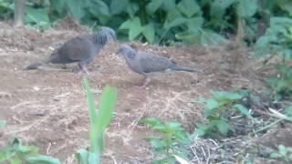 Pikat cerdik , burung liar di paksa main area racik