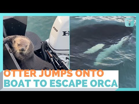 Otter Escapes Killer Whales by Jumping Into a Boat
