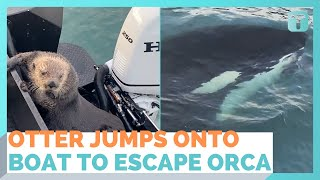 Otter Jumps Onto Boat Escaping Orca With Seconds To Spare