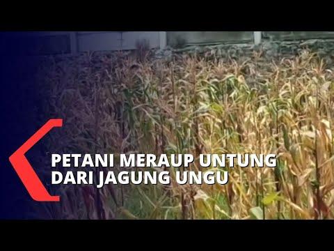 jagung ungu pangan alternatif yang menguntungkan petani