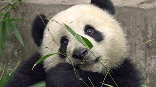 preview picture of video 'Cute Panda cub Mon Mon December 30th., 2014 Chengdu  パンダ 夢夢 熊猫'