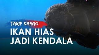 Tingginya Tarif Kargo Pesawat Jadi Kendala Pengusaha Ikan Hias di Indonesia untuk Berkembang