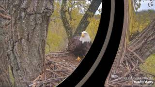Decorah Mom enjoys a fish on the nest. DM2 arrives to see if Mom will share. 10-23-19