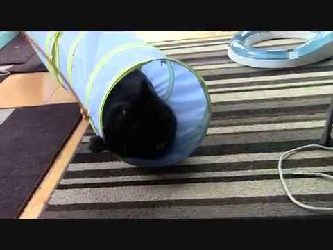 Merlin, an adopted Domestic Short Hair in Uxbridge, ON