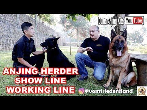 Anjing Herder Super Besar Show Line & Herder All Black Working Line Vom Friedensland