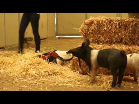 Anteprima Video I Porcellini Ivan e Mishka che aiutano un cane con sole tre zampe.