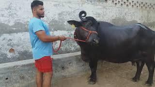 Not for sale nili Ravi buffalo( Pappu Sandhu Bloodline