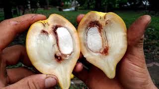 El abiu (Pouteria caimito) - En busca de las frutas exóticas del trópico.
