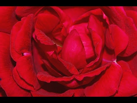 Robert Burns - My Love is Like a Red Red Rose - poem