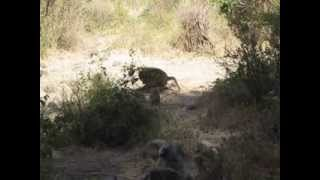 preview picture of video 'Baboons at Lake Manyara National Park'
