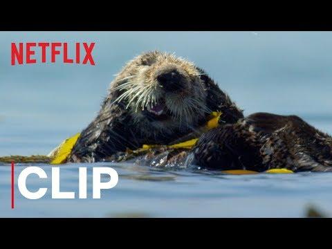 Video trailer för Our Planet | Otters | Clip | Netflix