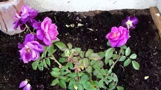 Como Hacer Un Rosal Increible. Echar Muchas Rosas Y Retoños