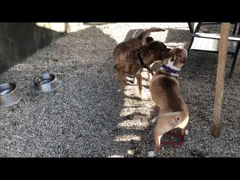 Alpine, an adoptable Dogue de Bordeaux & Mastiff Mix in Pasadena, CA