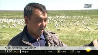 Қостанай облысындағы қаз фермасы өнім бере бастады