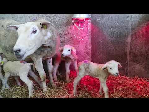 Sextuplet lambs in Teagasc Mellows Campus Athenry