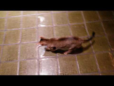 Katze Lilly spielt mit elektrischer Maus / ferngesteuerter Maus
