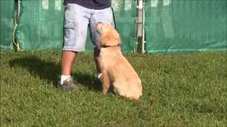 4 month old golden retriever obedience training