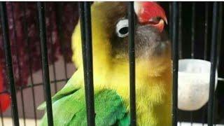 Lovebird Konslet Gaya Muter Muter Sambil Ngekek