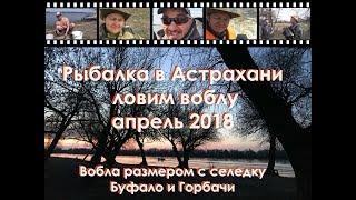 Рыбалка в Астрахани на воблу. Апрель 2018. Вобла размером с селедку, буффало и горбачи!